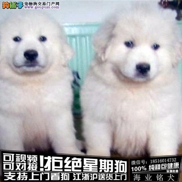 cku认证犬舍出售极品大白熊犬 签协议保健康