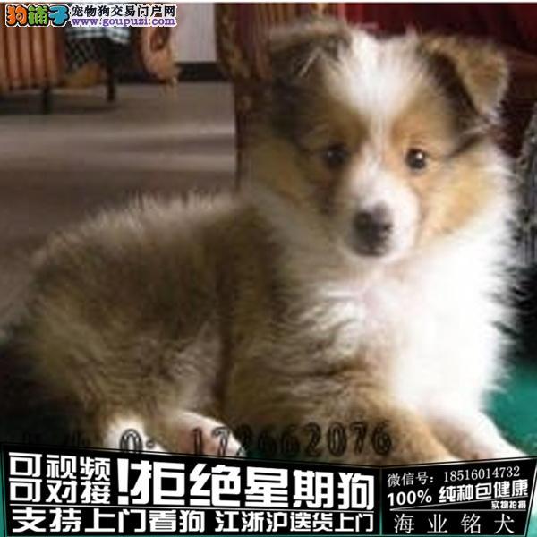 cku认证犬舍出售极品喜乐蒂签协议保健康