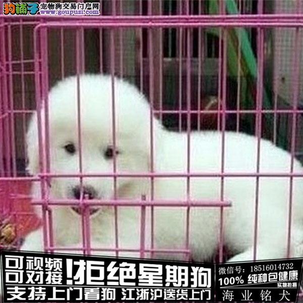 cku认证犬舍出售极品大白熊 签协议保健康