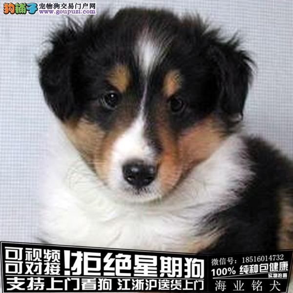 cku认证犬舍出售极品苏牧宝宝 签协议保健康