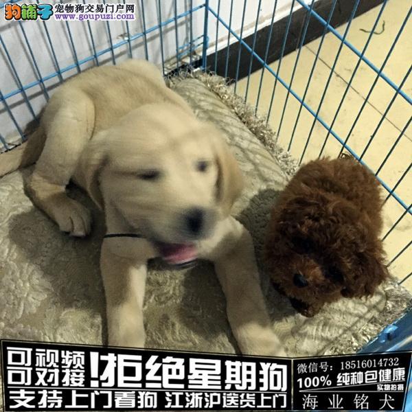 犬舍直销纯种拉布拉多宝宝 CKU认证绝对信誉