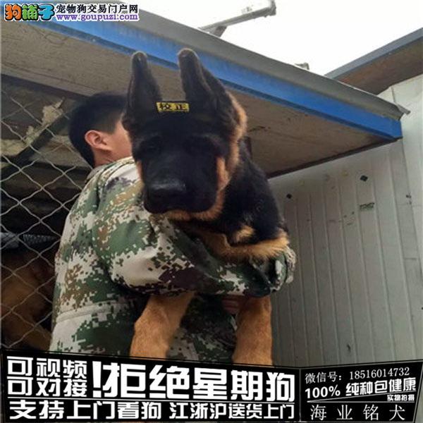 犬舍直销纯种德牧 CKU认证绝对信誉