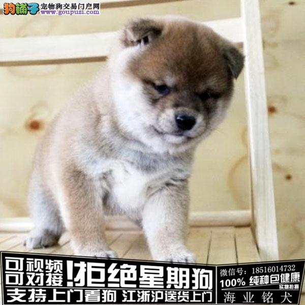 犬舍直销纯种柴犬宝宝 CKU认证绝对信誉