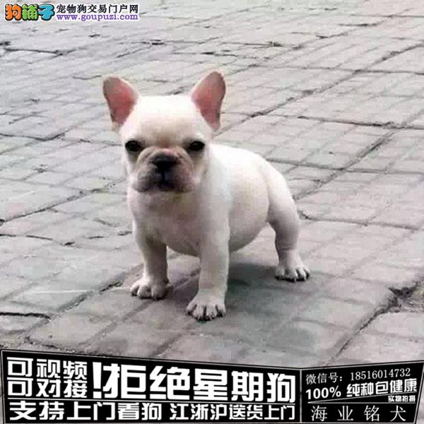 犬舍直销纯种法牛宝宝 CKU认证绝对信誉