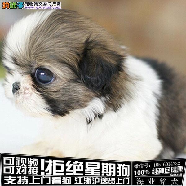 犬舍直销纯种西施犬宝宝 CKU认证绝对信誉