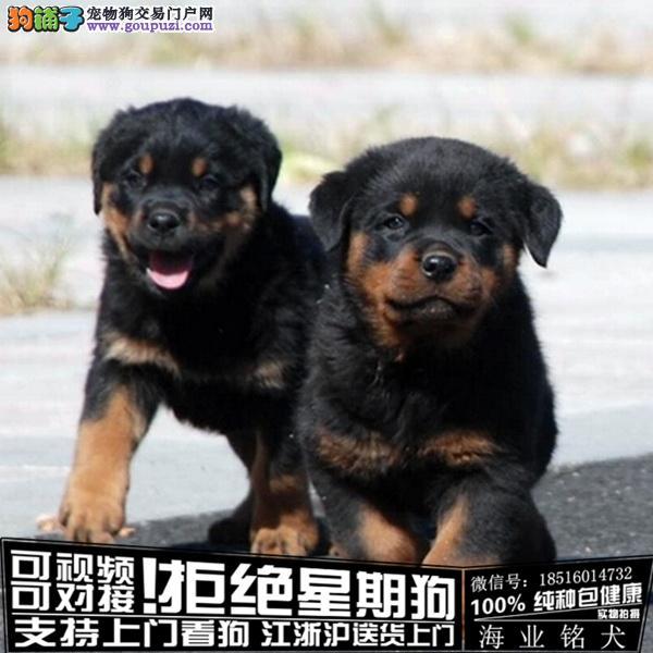 犬舍直销纯种罗威纳宝宝 CKU认证绝对信誉