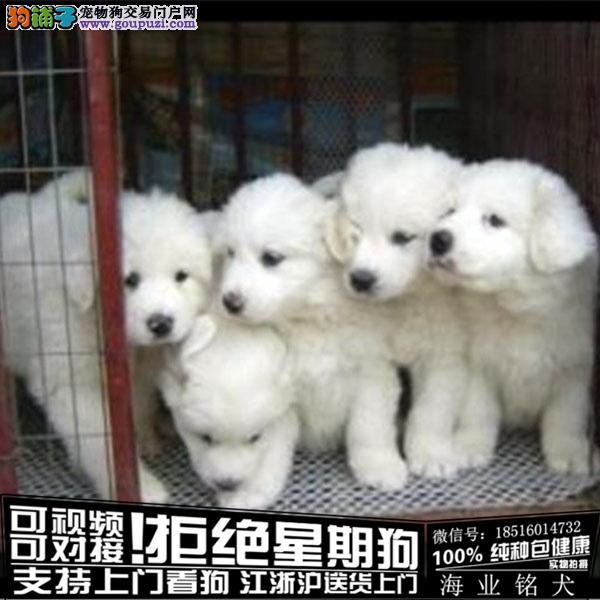 犬舍直销纯种大白熊宝宝 CKU认证绝对信誉