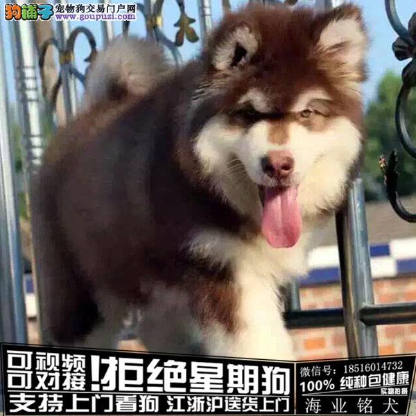 犬舍直销纯种阿拉斯加宝宝 CKU认证绝对信誉