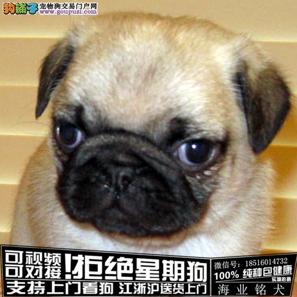 犬舍直销纯种巴哥宝宝 CKU认证绝对信誉
