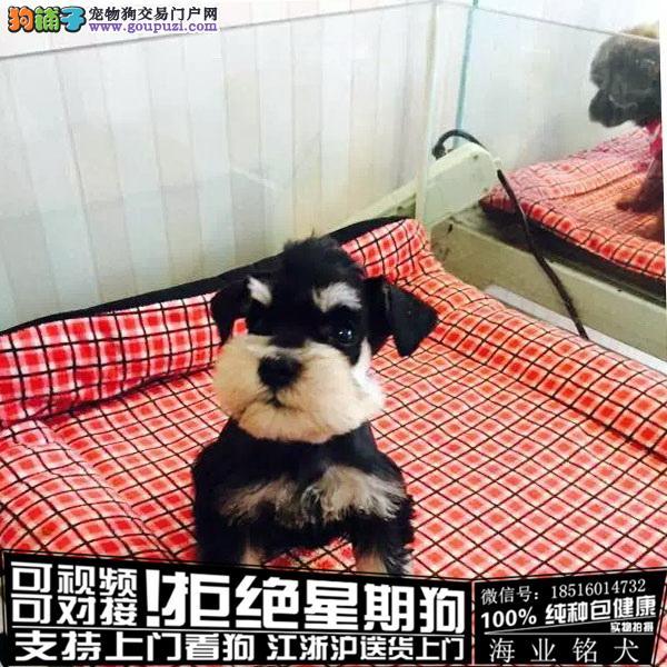 犬舍直销纯种雪纳瑞宝宝 CKU认证绝对信誉