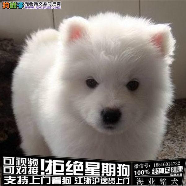 犬舍直销纯种银狐宝宝 CKU认证绝对信誉
