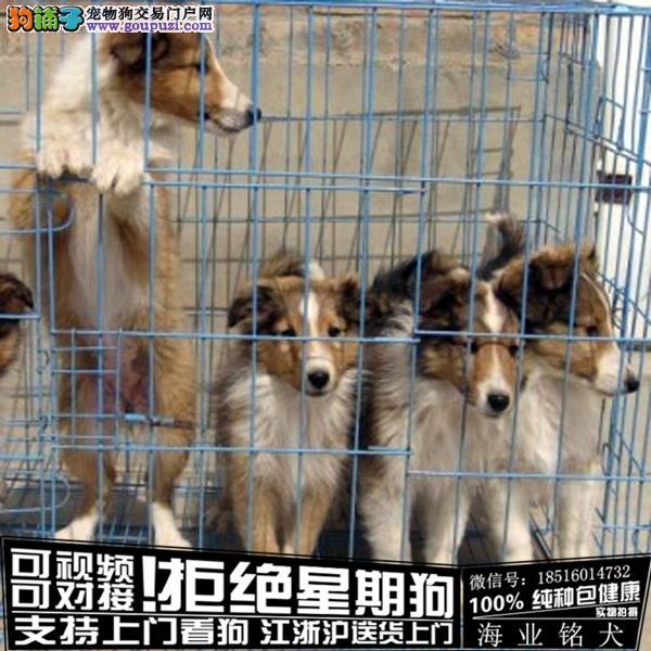 犬舍直销纯种苏牧宝宝 CKU认证绝对信誉