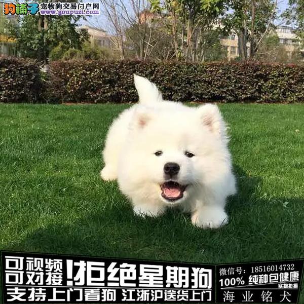 、犬舍直销纯种萨摩耶宝宝 CKU认证绝对信誉