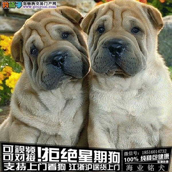 犬舍直销纯种沙皮宝宝 CKU认证绝对信誉
