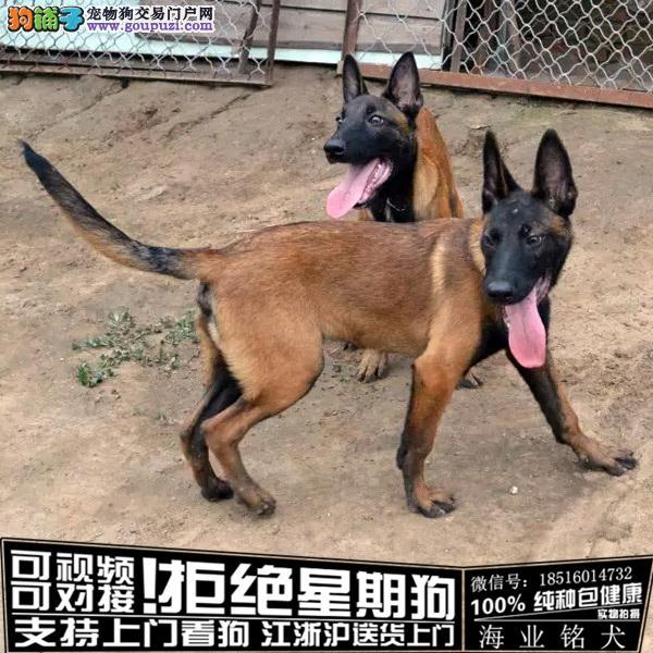 犬舍直销纯种马犬宝宝 CKU认证绝对信誉