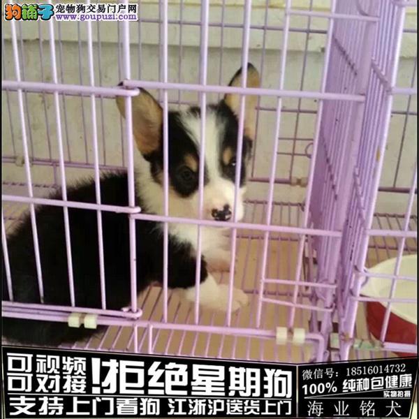 犬舍直销纯种柯基宝宝 CKU认证绝对信誉