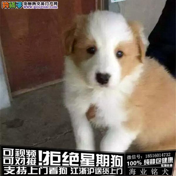 犬舍直销纯种边牧宝宝 CKU认证绝对信誉
