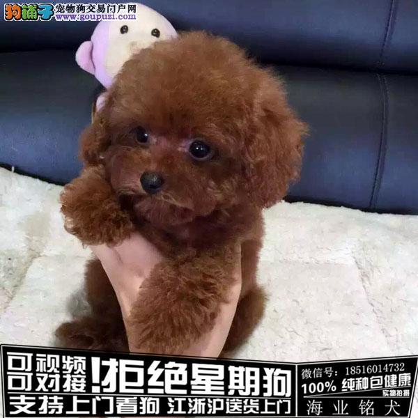 犬舍直销纯种可爱的泰迪宝宝 CKU认证绝对信誉
