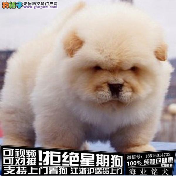 犬舍直销纯种松狮 宝宝 CKU认证绝对信誉