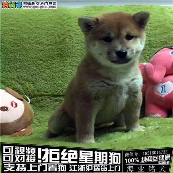 犬舍直销纯种柴犬宝贝 CKU认证绝对信誉