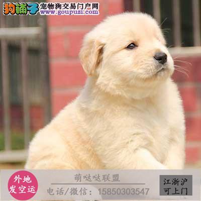 犬舍直销纯种金毛 宝宝 CKU认证绝对信誉