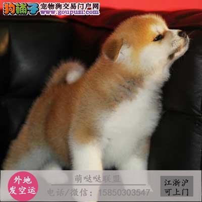 犬舍直销纯种柴犬 宝宝 CKU认证绝对信誉