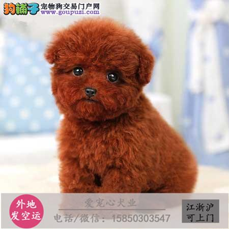 犬舍直销纯种泰迪宝宝包健康 CKU认证绝对信誉