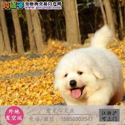 犬舍直销纯种大白熊 CKU认证绝对信誉
