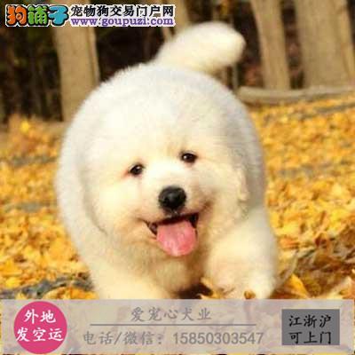 犬舍直销纯种大白熊包健康 CKU认证绝对信誉保健康