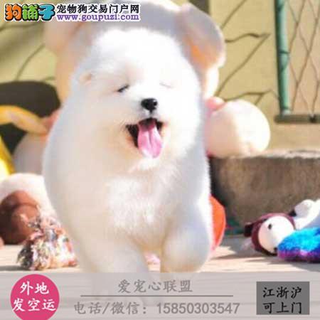 犬舍直销纯种萨摩耶宝宝 CKU认证绝对信誉