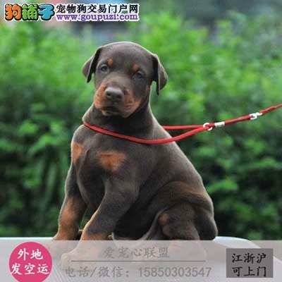 犬舍直销纯种杜宾宝宝 CKU认证绝对信誉