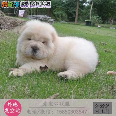 犬舍直销纯种松狮犬宝宝 CKU认证绝对信誉