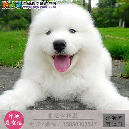 犬舍直销纯种比特宝宝 CKU认证绝对信誉