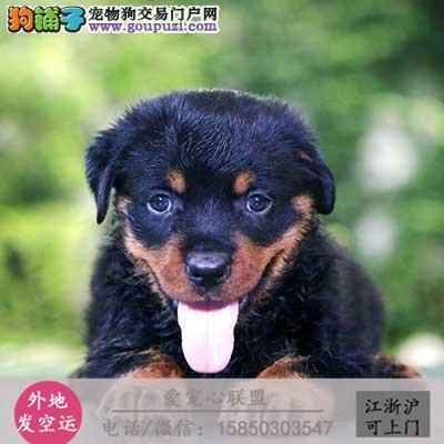 犬舍直销纯种罗威纳 宝宝 CKU认证绝对信誉