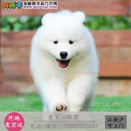 cku认证犬舍出售极西施犬 签协议保健康