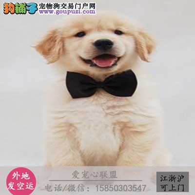犬舍直销纯种金毛 包健康 CKU认证绝对信誉
