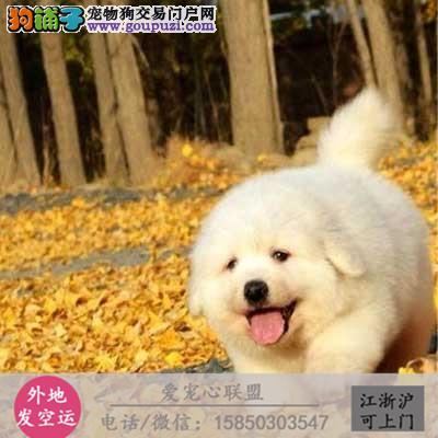 犬舍直销纯种大白熊宝宝包健康 CKU认证绝对信誉