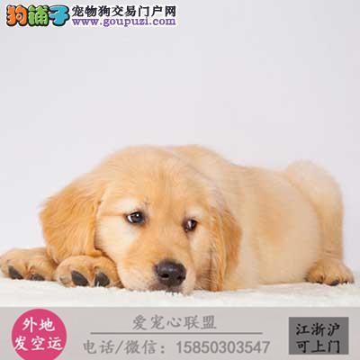 犬舍直销纯种金毛犬宝宝 CKU认证绝对信誉