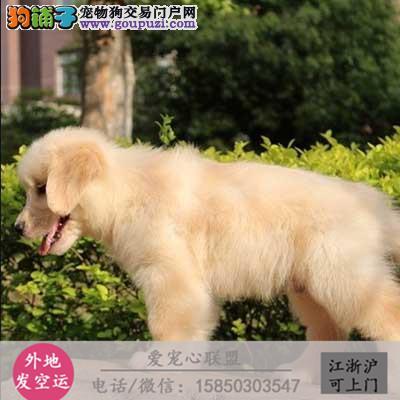 犬舍直销纯种金毛包健康 CKU认证绝对信誉