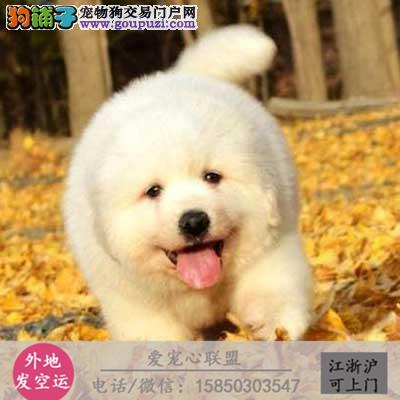 犬舍直销纯种可卡犬宝宝 CKU认证绝对信誉