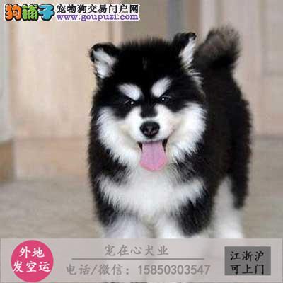 cku认证本犬舍出售极品阿拉斯加犬签协议保健康