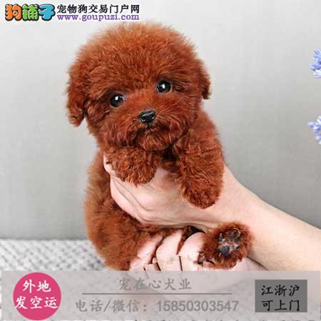 cku认证犬舍出售极泰迪 签协议保健康