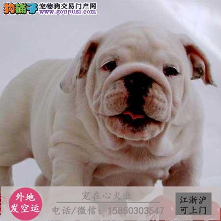 cku认证犬舍出售极品英牛 签协议保健英牛