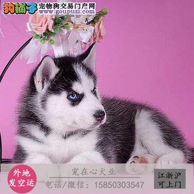 cku认证犬舍出售极品二哈 签协议保健康