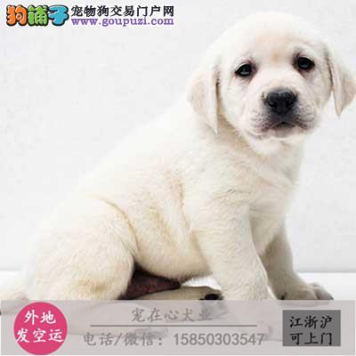 cku认证犬舍出售极品拉布拉多 签协议保健康