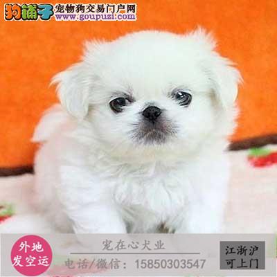 cku认证犬舍出售极品京巴 签协议保健康
