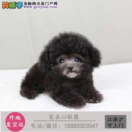 cku认证犬舍出售极品泰迪 签协议保健康
