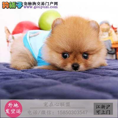cku认证犬舍出售极品博美犬 签协议保健康