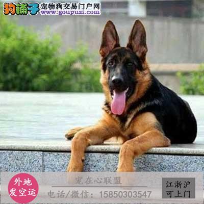 cku认证犬舍出售极品大型德牧犬 签协议保健康