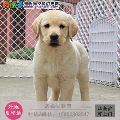 cku认证犬舍出售极品拉布拉多签协议保健康